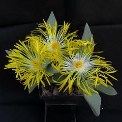Pleiospilos compactus subsp. canus