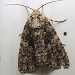 9254 – Afflicted Dagger Moth – Acronicta afflicta thumbnail