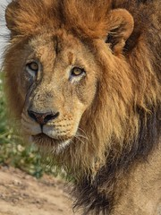 Handsome king (stephanieswayne1) Tags: endangered majestic beautiful male mane eyes looking face zoo columbus portrait profile cat big animal wild pride handsome king lion africa african