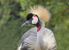 Grey crowned crane,  Vienna zoo, Austria (Frans.Sellies) Tags: p1040864 crane grijzekroonkraan kraanvogel kroonkraan crownedcrane zoo vienna austria
