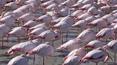 Restons groupés Saintes Maries de la Mer (Marc ALMECIJA) Tags: oisau bird flamant rose flamingo pink wildfive outside outdoor gau pont camargue pentax kr 55300