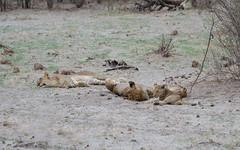 Löwen / Lions (brainstorm1984) Tags: big5 lioness löwen makgadikgadi junges cubs lion botetiriver lioncub wildlife löwin leroolatau jungtier elangeniafricanadventures boteti safari junge desertdeltasafaris lioncubs makgadikgadipansnationalpark botswana junglöwe cub löwenjunge wildfelinephotography pantheraleo junglöwen jungtiere löwenjunges makgadikgadipansgamereserve lions löwe bigfive northwestdistrict botsuana bw