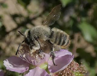 Megachile ? (Rubus ulmifolius)