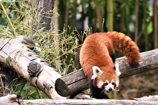 Panda roux - Red panda