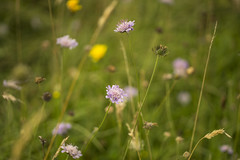 in a summer meadow ,,, (HHH Honey) Tags: sonya7rii minolta minolta50mm minolta50mmf28macro salisburyplain wiltshire summer wildflowers scabious grasses seedhead dandelions dropwort