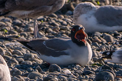 Swallow-tailed_Gull_P1360087 (sendtoGandO) Tags: birds gulls kingcounty places swallowtailedgull washington