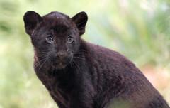 jaguar, born 28 6 2017 artis BB2A2673 (j.a.kok) Tags: jaguar blackjaguar zwartejaguar jaguarcub artis rica mowgli mammal zoogdier dier animal southamerica zuidamerika kat cat predator pantheraonca