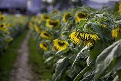 Sunflowers bowing their heads after a rain shower (crabsandbeer (Kevin Moore)) Tags: farm flowers rural september sunflowers nature garden yellow fall summer droop bow rain bee bees
