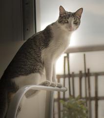 Tigrecito (Lu Coste) Tags: cat pet mascota tiger mirada