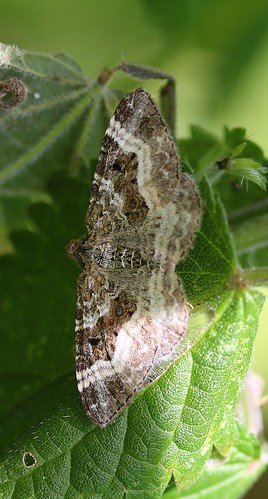 common carpet moth - epirrhoe alternata