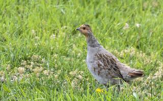 Lifer Gray Partridge [Explored]
