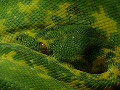 Grüner Baumpython   EXPLORE #  19.08.2017 (libra1054) Tags: python pitón pitone pitão schlangen snakes serpenti serpents serpientes serpentes green grün vert verde macro