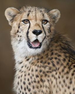 Cheerful Cheetah Cub