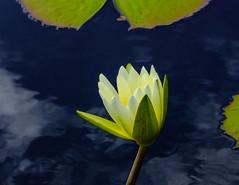 Tropical Day Blooming Waterlily (vern Ri) Tags: nybg lily waterlily flower flora fiori fleur blumen blossom fuji water garden newyork