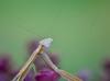 """Praying Mantis - """"I See You, Human"""" (bettyinparis) Tags: prayingmantis praying mantis summer insect bug look nature"""