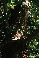 Woods 10 (avenwildsmith) Tags: film 35mm nature devon countryside analog analogue kodak retinette 1b grain england britain wild wilderness dappled light tree trees bark plant plants wood woods forest summer 35mmfilm kodakretinette1b