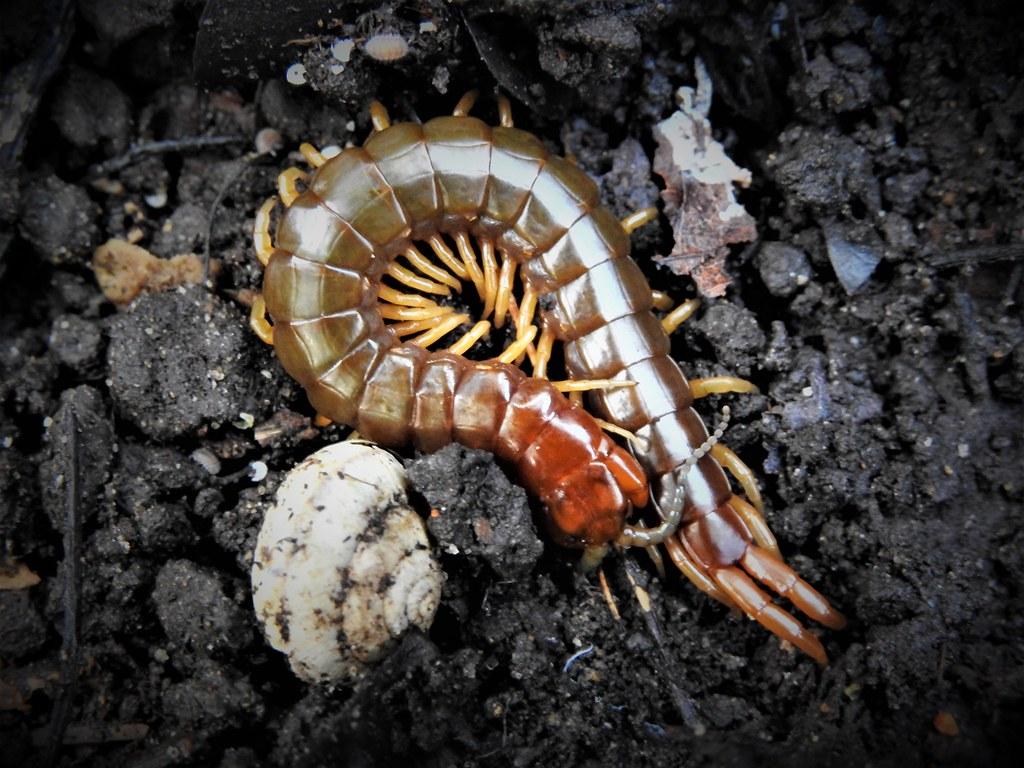 the world 39 s best photos of arthropod and centipede flickr hive mind. Black Bedroom Furniture Sets. Home Design Ideas