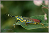 7063 - painted grasshopper (chandrasekaran a 44 lakhs views Thanks to all) Tags: grasshopper nature india chennai canon eos400d tamron90mm