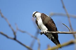 Osprey 4-3-17 Steigerwald Lake National Wildlife Refuge