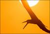 Black Skimmer / Partial Eclipse (Nikographer [Jon]) Tags: eclipse blackskimmers sunrise sun orange lidobeach lbny lido beach newyork 20170821d500086685 d500 nikographer nikon nickerson nickersonbeach sunner aug august 2017
