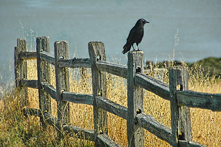 Crow On A Split Rail Fence