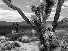 """""""Melted Sneakers"""" (Death By Sushi) Tags: joshuatree mojavedesert california nature landscape blackandwhite bnw leicax2"""