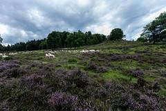 Veluwe Paarse hei (hansde) Tags: hei paars purple hiking wandelen veluwe posbank flora fauna fun fluffy