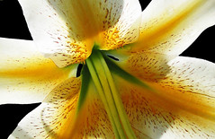 """Light Through Life"" (Puzzler4879) Tags: flowers lilies macro flowermacro lilycenters backlighting backlitflowers blackintheback flowersonblack bbg brooklynbotanicgarden a580 canona580 powershot canonpowershot canonpowershota580 powershota580 canonphotography canonaseries canonpointandshoot pointandshoot"