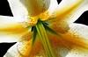 """Light Through Life"" (Puzzler4879) Tags: flowers lilies macro flowermacro lilycenters backlighting backlitflowers blackintheback flowersonblack bbg brooklynbotanicgarden a580 canona580 powershot canonpowershot canonpowershota580 powershota580 canonphotography canonaseries canonpointandshoot pointandshoot"