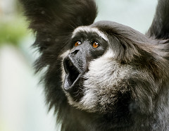 Gibbon. (rodburkey) Tags: