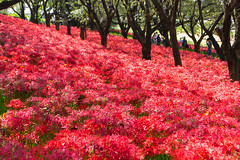 _DSC9018 (sayo-tsu) Tags: gongendopark saitama sattecity japan 権現堂公園 埼玉県 ヒガンバナ 彼岸花 曼珠沙華 lycoris