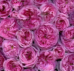 58491.04 Rosa alba 'Queen of Denmark' (horticultural art) Tags: horticulturalart rosaalbaqueenofdenmark rosaalba rosa rose flowers