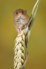 Can I come down now ... (Janet Marshall LRPS) Tags: harvestmouse rodent captivelight macro workshop highanddry new curledtail