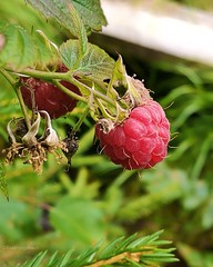 Mmmm (evakongshavn) Tags: raspberry raspberries berry berries flora omnom red delight plant plants planter beautyinnature naturelovers natur nature naturnature naturaleza naturbilder naturphotography naturephotography