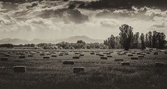 a look back (andy_8357) Tags: boulder valley green mountain vintage monochrome sony a6000 ilce6000 ilcenex e pz 1650mm grass trees foothills front range colorado mirrorless beautiful clouds sky sepia alpha lafayette co mountains old time dramatic hay bales field sunlight sunlit shadows shadow selp1650 l