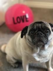 Josie (Stefan Candie) Tags: 2017 dogs pets pet dog cute pug pugs bigloveball