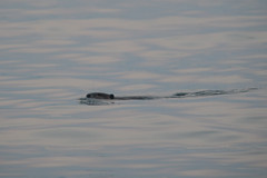 DSC02541 (sylviagreve) Tags: 2017 beaver lakesammamishstatepark lakesammamish issaquah washington unitedstates us