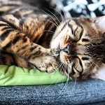 tonight I will go to sleep really clean! tomorrow my favorite human will come home from the trip to Japan. #cats #cat #catcleaning #catclean #cats_of_instagram #cats_lover #bengalcat_lovers thumbnail