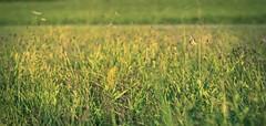 back to summer (_andrea-) Tags: meadow swallowtail schwalbenschwanz butterfly schmetterling insekten ritterfalter sony alpha 7m2 sonyzeiss objektiv mount carlzeiss summerday love 50mm fantasticnature