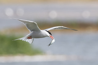 Common Tern-283