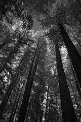 they might be giants (Robert Couse-Baker) Tags: 2017258 2017 365 redwoods mendocinocounty mendocino trees up