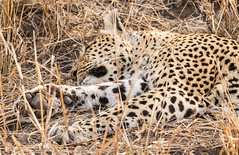 Safari-114 (Davey6585) Tags: travel traveling world southafrica africa safari tydonafricansafaris tydonsafaris tydon sabisands sabisandsprivategamereserve sabisandsgamereserve pantherapardus leopard africanleopard cat bigcat bigfive big5 animal animals wildlife wildanimals