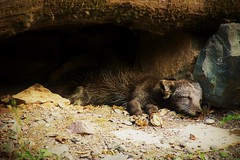 La sieste du renard polaire (camilleromane1) Tags: dormir renard polaire fox polarfox sony sonyalpha68 stecroix rhodes moselle parcanimalier