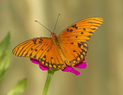 Gulf Fritillary (Agraulis vanillae) (AllHarts) Tags: gulffritillaryagraulisvanillae backyardbutterflies memphistn naturesspirit thesunshinegroup sunrays5 naturescarousel ngc npc challengeclubchampions