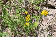 Tanacetum vulgare (douneika) Tags: tanacetum vulgare taxonomy:family=asteraceae taxonomy:binomial=tanacetumvulgare asteraceae val di sella