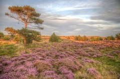 Warm light (blavandmaster) Tags: august 6d himlen hede season landskabet landscape december landschaft ciel solnedgang jütland zand danmark light denemarken beautiful countryside pijnboom blavand heather dänemark danish 24105 photomatix zonsondergang perfect handheld 2017 kleuren heidekraut hdr nuages sky happy denmark sommer lys sonnenuntergang complete colours hemel garrigue himmel christiankortum heide incredible interesting blåvand lumière clouds awesome jylland sunset lovely 37millions dunes harmonic coucherdesoleil pine skyer pinède erica sand lyng eos6d wolken 37000000 canon sable