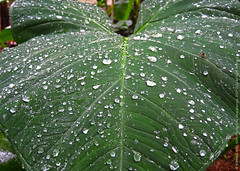 IT JUST RAINED IN KERALA ! (GOPAN G. NAIR [ GOPS Photography ]) Tags: gopsorg gopangnair gops gopsphotography photography rain monsoon magic leaf leaves drops dew kerala india
