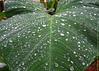IT JUST RAINED IN KERALA ! (GOPAN G. NAIR [ GOPS Photography ]) Tags: gopsorg gopangnair gops gopsphotography photography rain monsoon magic leaf leaves drops dew kerala india