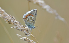 common blue (dickie44) Tags: butterfly commonblue ormesbybroad norfolkbroads nwt