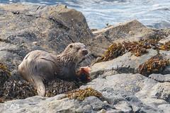 Otter (Unst, Shetland) (Renate van den Boom) Tags: 08augustus 2017 europa grootbrittannië jaar maand otter renatevandenboom shetland unst zoogdieren